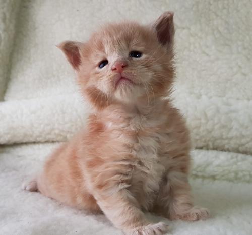 Country Gold Еmpire (Империя) кошка